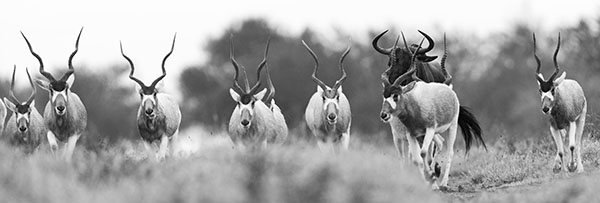 Addax and Blue Wildebeest