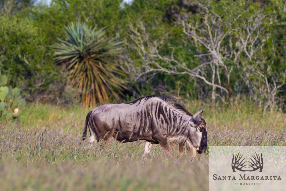 Blue Wildebeest at SMR